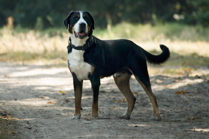 Lukas - Greater Swiss Mountain Dog